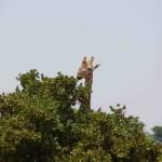 giraffa al parco tsavo