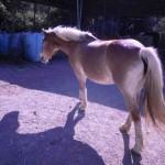 cavallo toscana