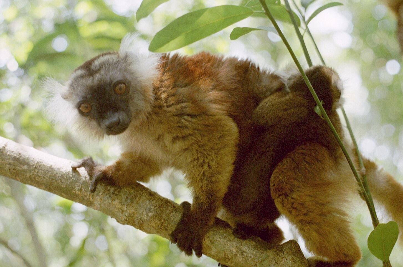 Lemuri Nosy Be