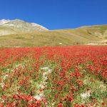 fioritura_castelluccio
