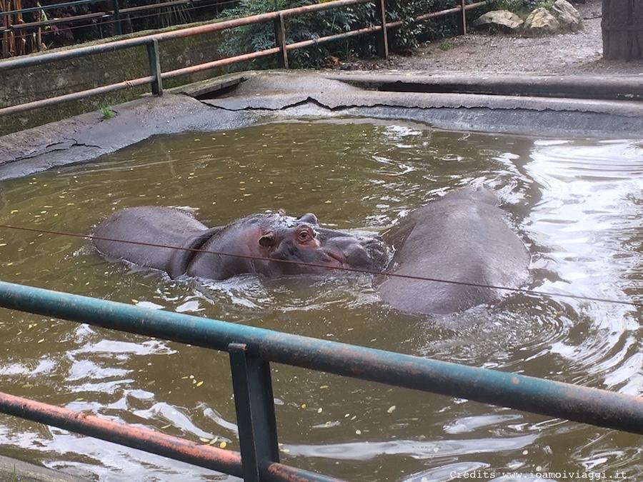 bagnetto-ippopotami-zoo-pistoia