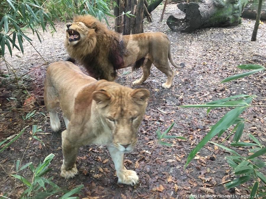 gabbia-dei-leoni-zoo-pistoia