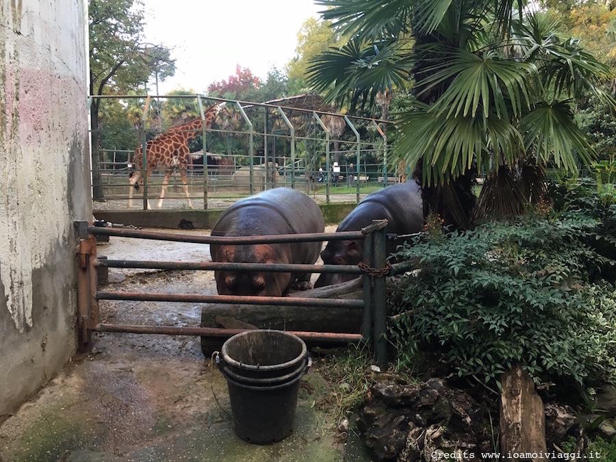 gabbia-ippopotami-zoo-pistoia