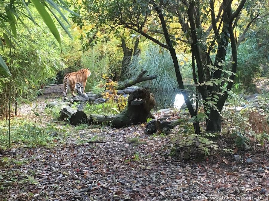 gabbia-tigri-zoo-pistoia