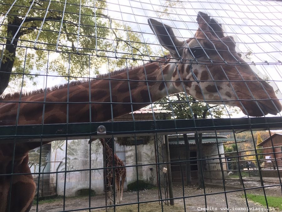 giraffa-pistoia-zoo
