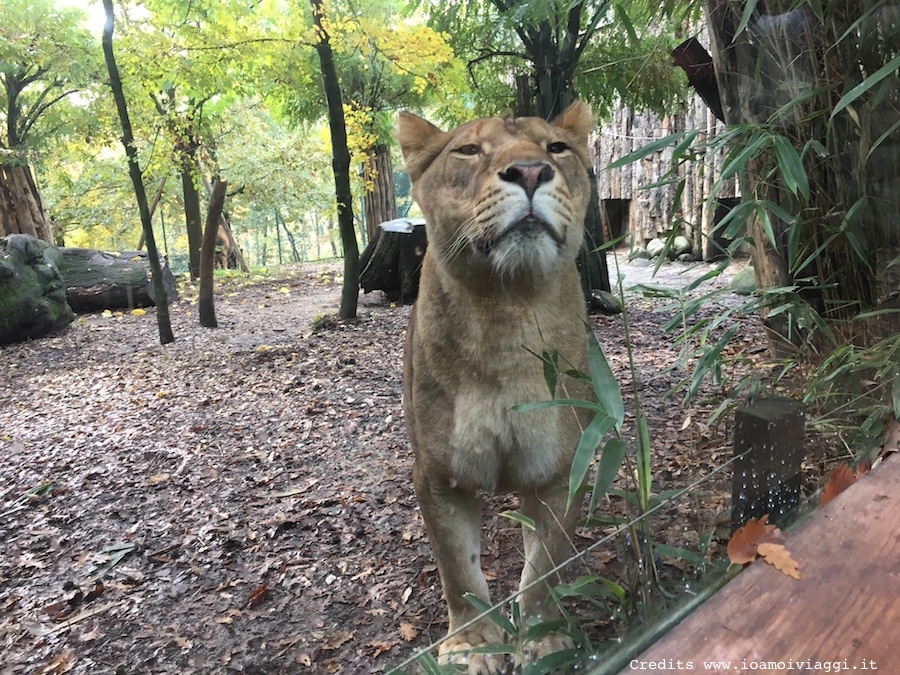 leonessa-zoo-pistoia