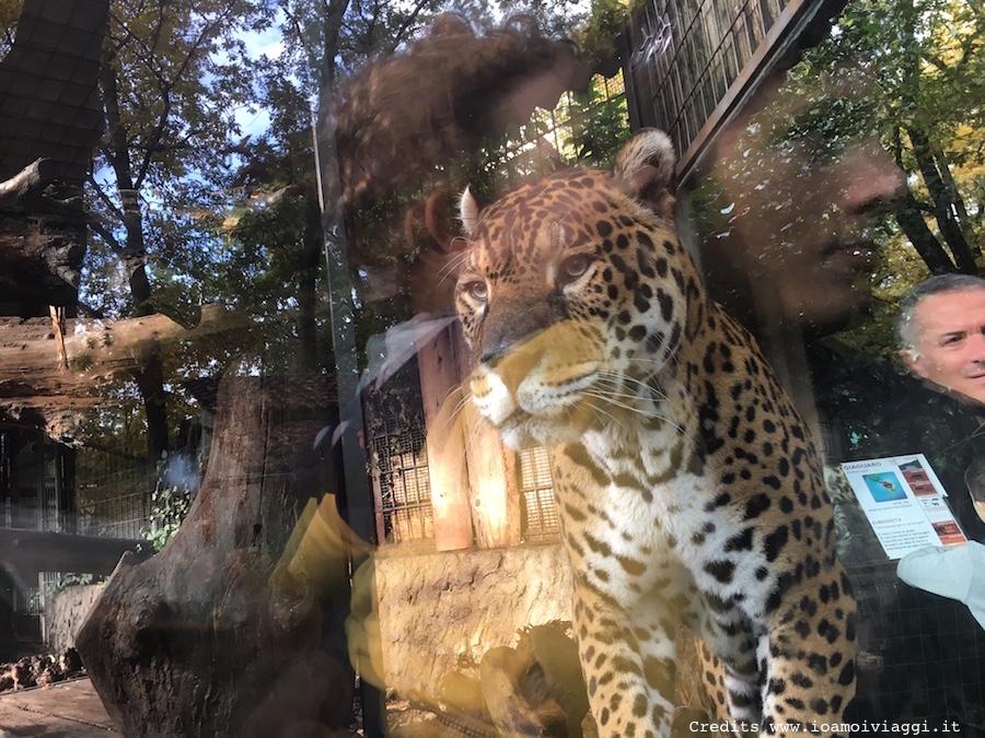 leopardo-zoo-pistoia