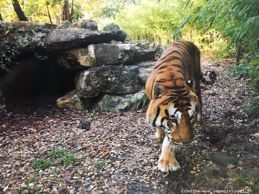 tigre-zoo-pistoia