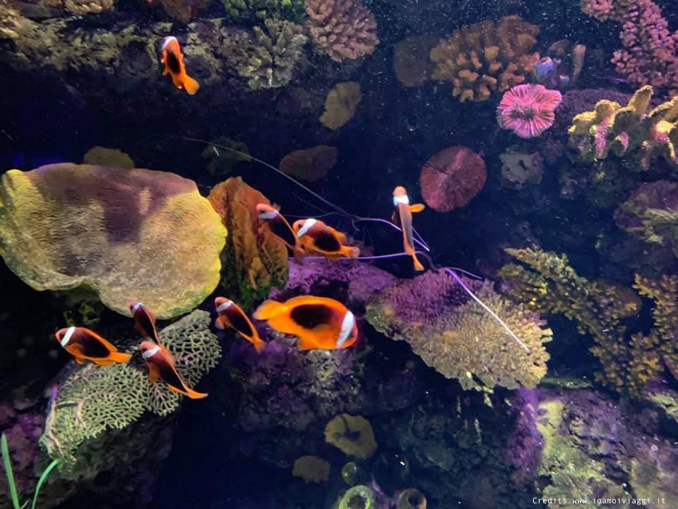 pesce pagliaccio pomorodo all'acquario di gardaland sea life